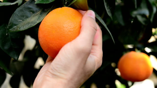 Orange on the branch