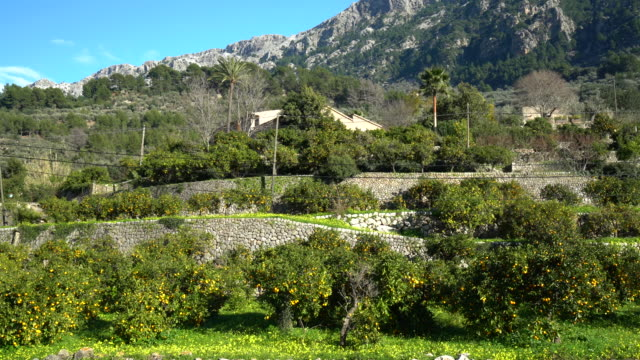 orange orchard in mallorca - balearic islands stock videos and b-roll footage
