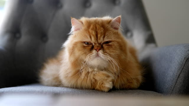orange persian cat - chair stock videos & royalty-free footage