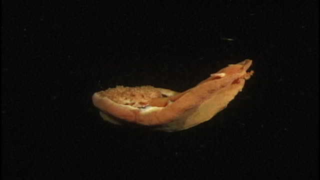 orange sea slug/sea hare (unknown species). reef. papua new guinea - nudibranch stock videos & royalty-free footage