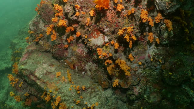 orange soft coral colony on undersea rock formation - soft coral stock videos & royalty-free footage