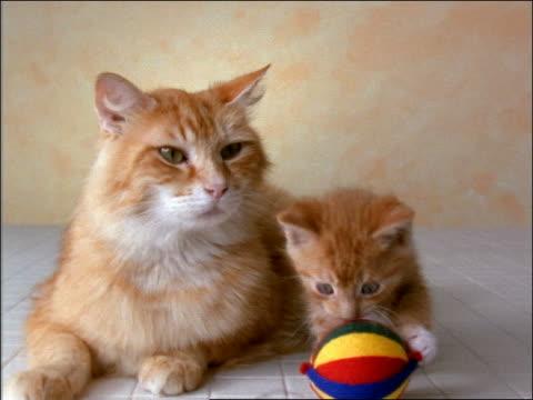 Orange tabby cat + kitten lying in studio / kitten plays with ball