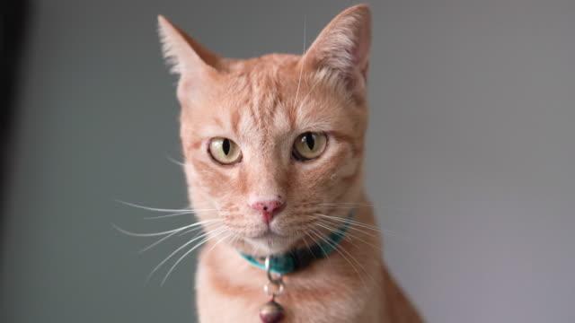 vídeos de stock e filmes b-roll de orange tabby cat. - cabeça de animal