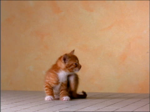 vídeos de stock, filmes e b-roll de orange tabby kitten scratching in studio - arranhado
