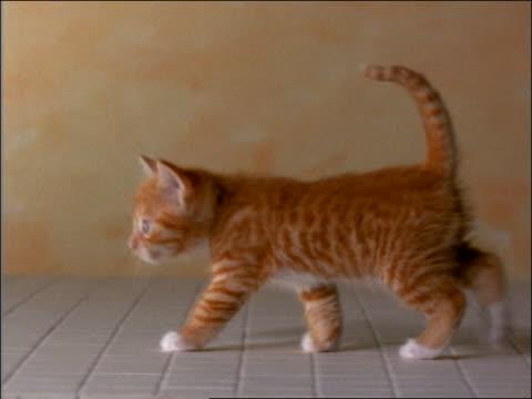 Orange tabby kitten walking in studio