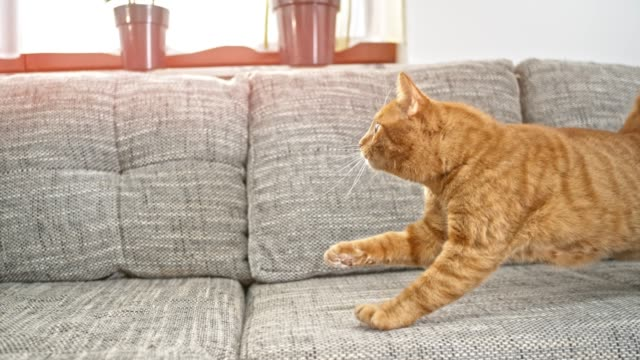 SLO MO Orange tabby trying to catch the toy so it springs out on the sofa