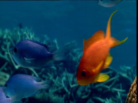 Orange threadfin anthias swims on coral reef, Tonga