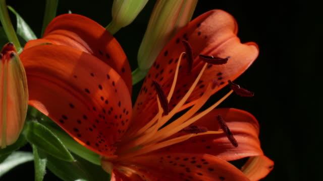 orange tiger lily closeup - tiger lily stock videos & royalty-free footage