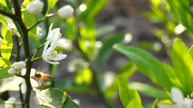 orange tree blooming in spring - citrus fruit stock videos & royalty-free footage