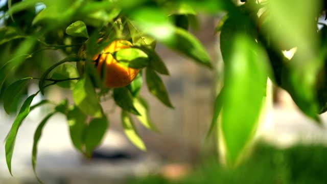 オレンジ ツリーの詳細 - 一つ点の映像素材/bロール