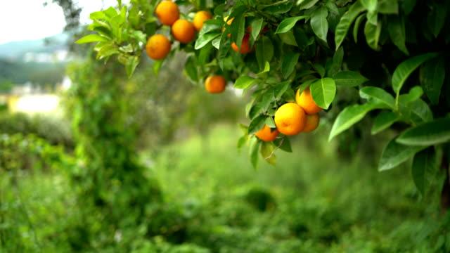 オレンジ ツリーの詳細 - オレンジの木点の映像素材/bロール