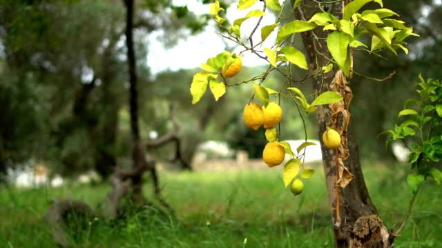 vídeos de stock, filmes e b-roll de detalhes de laranjeira - processo vegetal