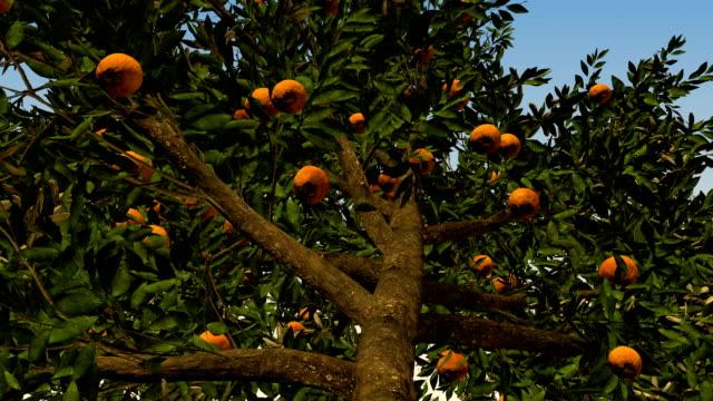 vídeos y material grabado en eventos de stock de naranja árbol creciente acercamiento con mate - mate técnica de vídeo