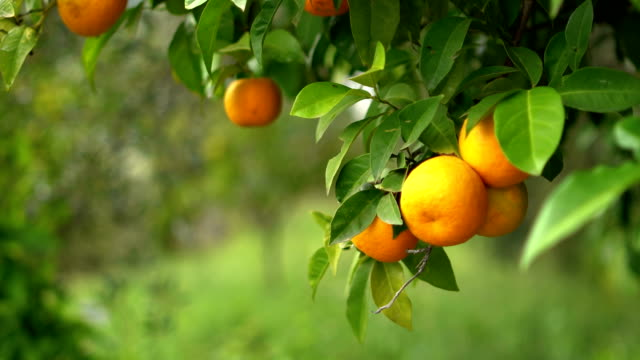 orange tree - orange colour stock videos & royalty-free footage