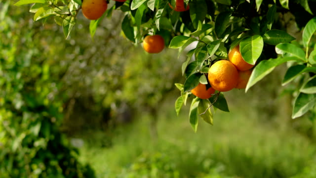 orange tree - cultura mediterranea video stock e b–roll