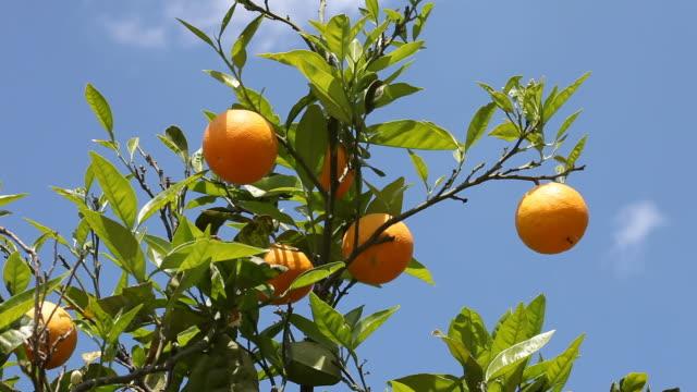 orange tree - orange frucht stock-videos und b-roll-filmmaterial