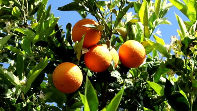 オレンジの木 - オレンジ点の映像素材/bロール
