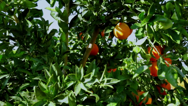 orange tree with fruits - tangerine stock videos and b-roll footage