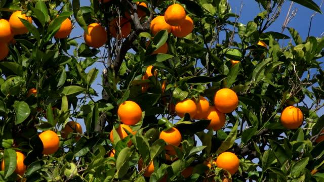 orange tree with fruits - orange frucht stock-videos und b-roll-filmmaterial
