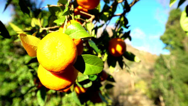 orange tree with sun - tangerine stock videos and b-roll footage
