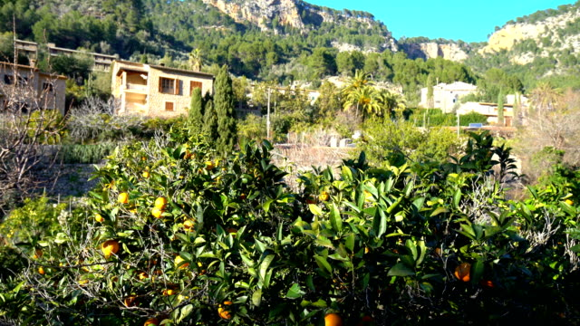 Orange trees and houses in Mallorca