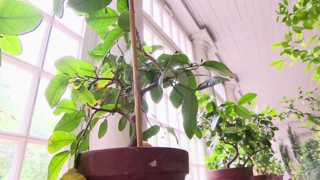 orange trees in orangery - plant pot stock videos & royalty-free footage