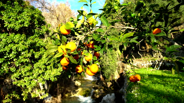 orange trees with sun and water cascade - citrus fruit stock videos and b-roll footage