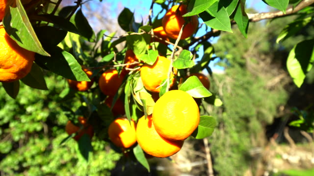 stockvideo's en b-roll-footage met sinaasappelbomen met zon - sinaasappel