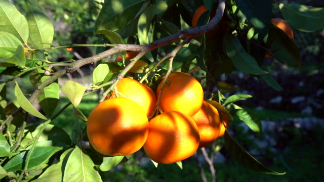 orange trees with sun - orange stock videos & royalty-free footage