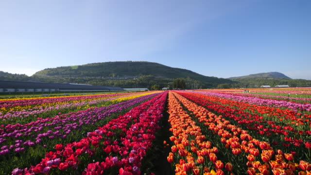 orange tulip flowers fields growing in crops. - slow motion - チューリップ点の映像素材/bロール