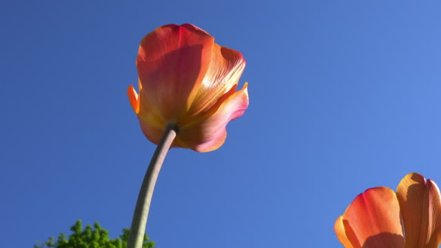 orange tulip flowers in the saint james park park, toronto, canada - low angle view stock videos & royalty-free footage