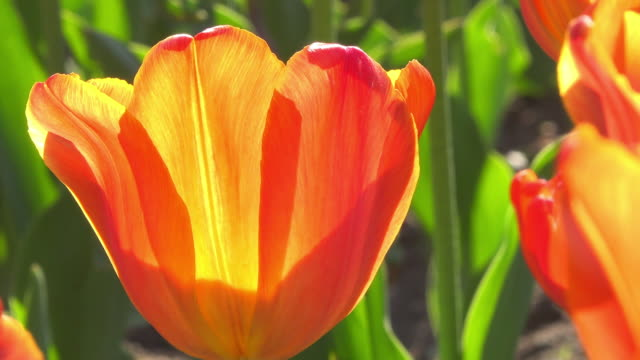 orange tulip flowers in the saint james park park, zoom out, toronto, canada - tulip stock videos and b-roll footage