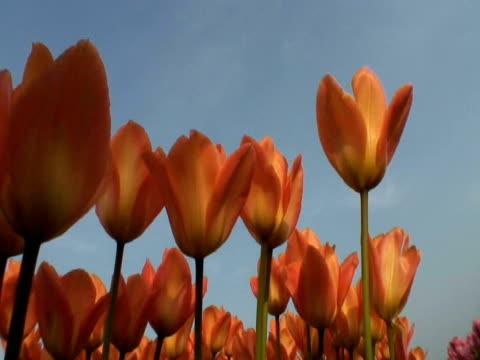 orange tulips (tulipa sp.) in field, keukenhof, central holland - ティルト点の映像素材/bロール