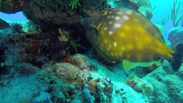 Orange White Spotted Filefish