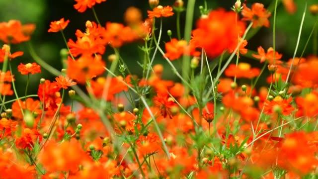 orange / yellow cosmos flowers - ståndare bildbanksvideor och videomaterial från bakom kulisserna