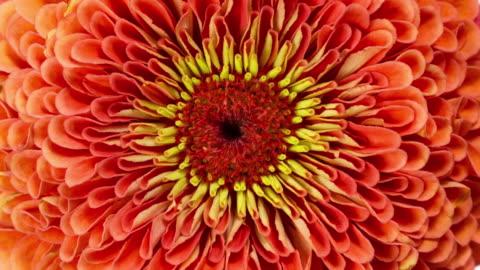 vídeos de stock, filmes e b-roll de flor de laranja zinnia florescendo - cabeça da flor