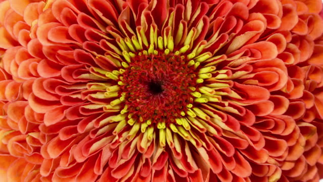 orange zinnia flower blooming - floral pattern stock videos & royalty-free footage