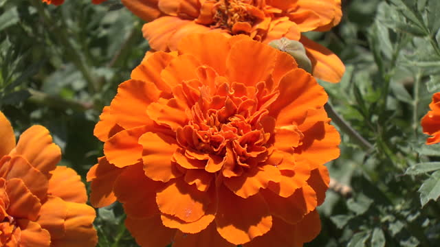 orange-colored french marigolds (tagetes patula) - orange colour stock videos & royalty-free footage