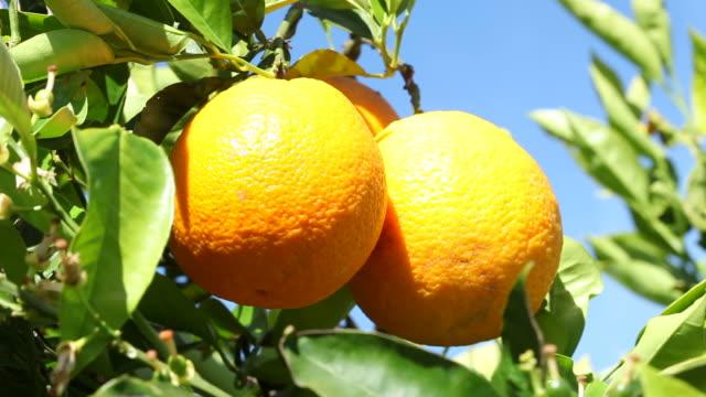 オレンジのクローズアップ - オレンジ果樹園点の映像素材/bロール