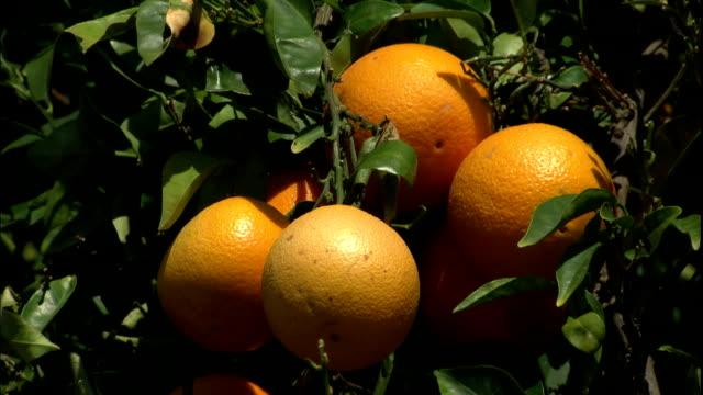 oranges grow on a tree in an orange grove. - オレンジの木点の映像素材/bロール