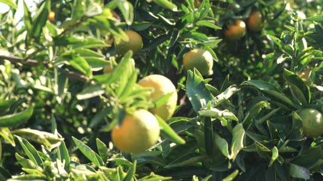 cu oranges growing in seville - fruit tree stock videos & royalty-free footage