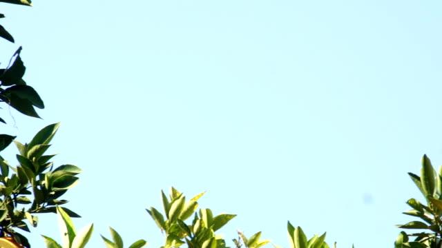 oranges growing on tree - オレンジの木点の映像素材/bロール