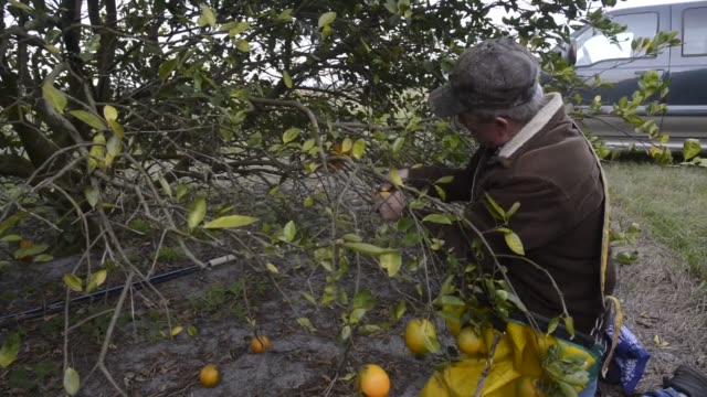 Oranges hang from trees as Tim Brown owner of Brown's Grove Citrus and Produce collects ripe fruit at the company's grove in Sarasota Florida US...