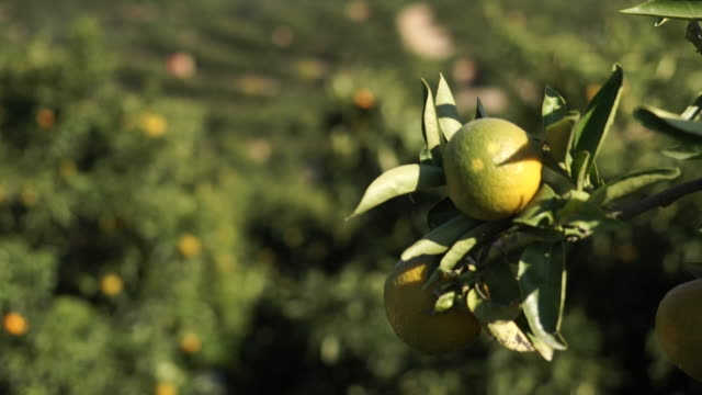 oranges harvested in seville - ripe stock videos & royalty-free footage