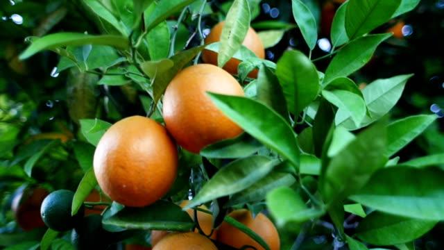 oranges on tree - オレンジ果樹園点の映像素材/bロール