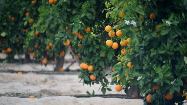 stockvideo's en b-roll-footage met oranges - boomgaard