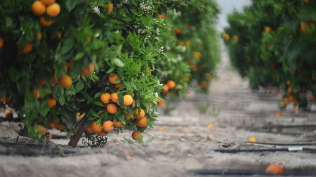 oranges - grove stock videos & royalty-free footage