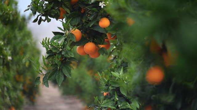 oranges - オレンジ果樹園点の映像素材/bロール