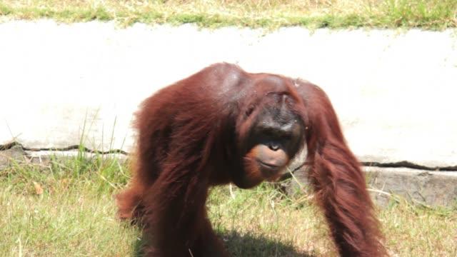 orangutan at surabaya zoo indonesia - surabaya stock videos & royalty-free footage