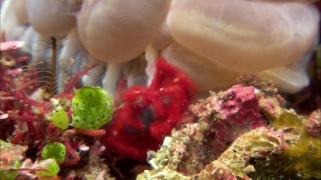 orangutan crab (achaeus japonicus) on bubble coral on coral reef, manado, indonesia - crab stock videos and b-roll footage